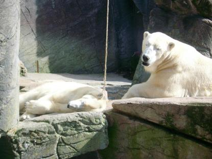 Polar bears in Copenhagen Zoo