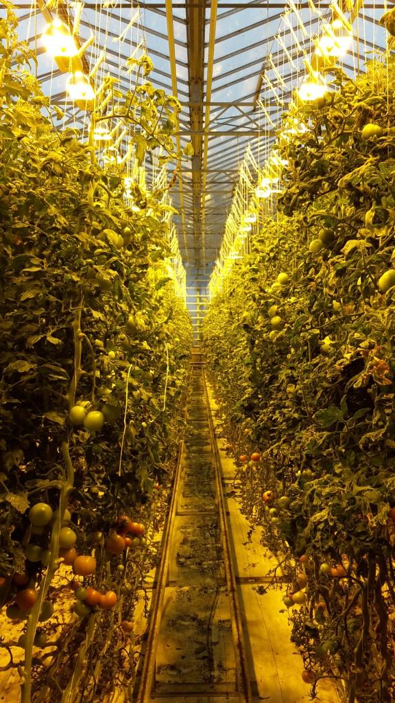 Friðheimar greenhouse in Iceland