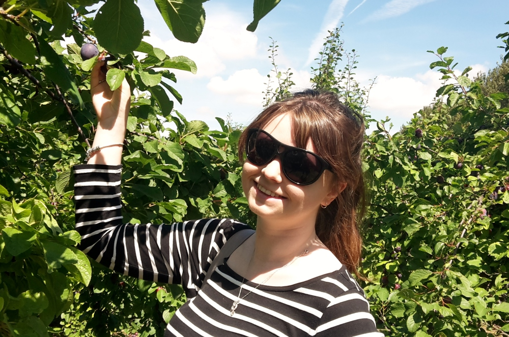 Kayleigh picking plums at Roundstone Pick-Your-Own farm, West Sussex