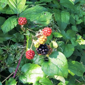 Blackberries in Preston Park, Brighton