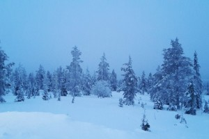 Snowy woodland in Pallas in Finnish Lapland