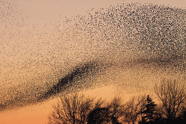 Starling murmuration against a pink sky over Scotland